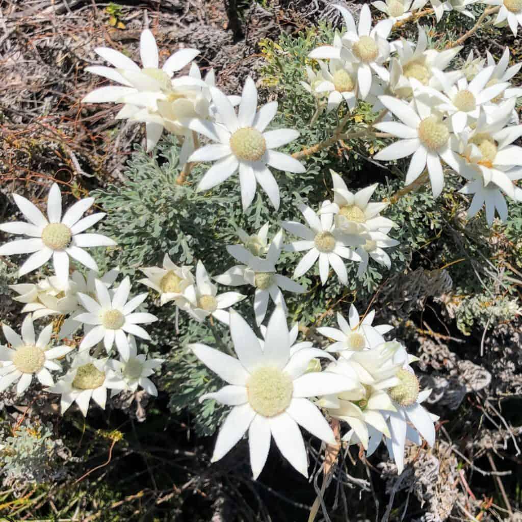 Yuraygir Coastal Walk Flannel flowers