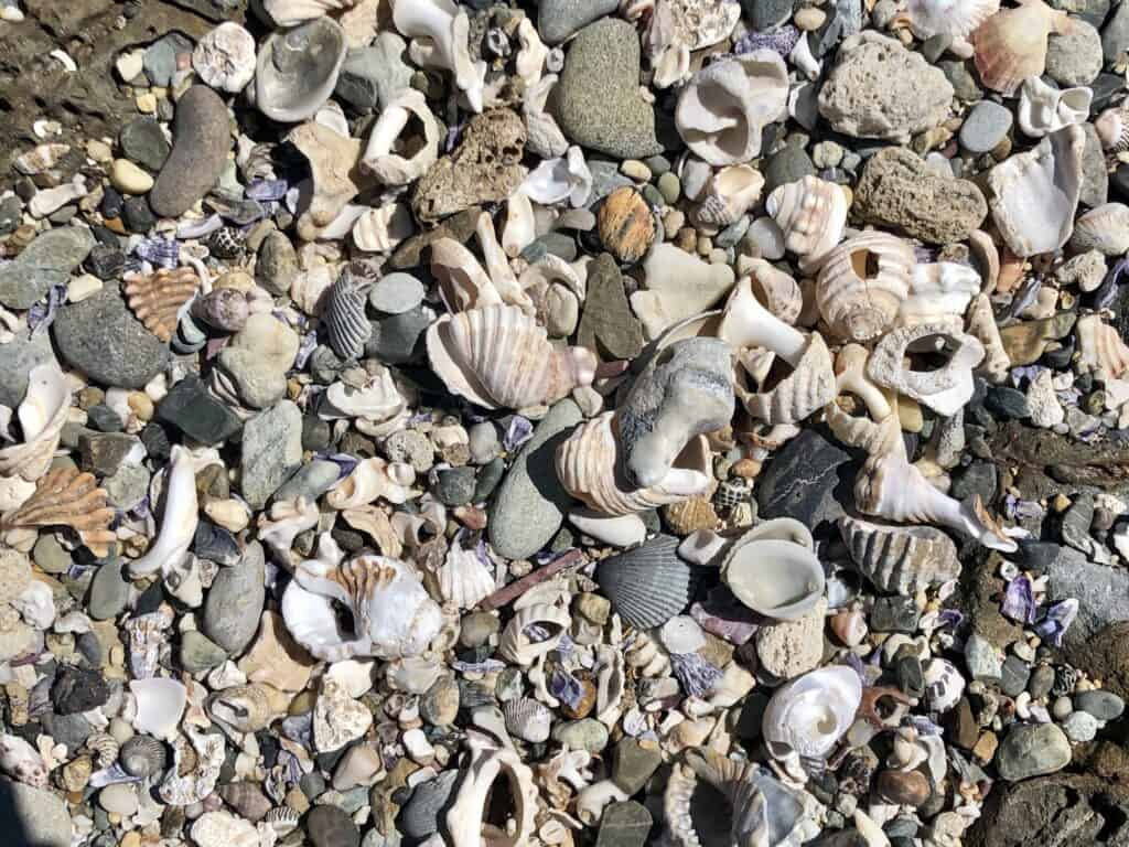 Woolgoolga Headland shells