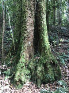 Dorrigo Plum tree on Rosewood Creek Track