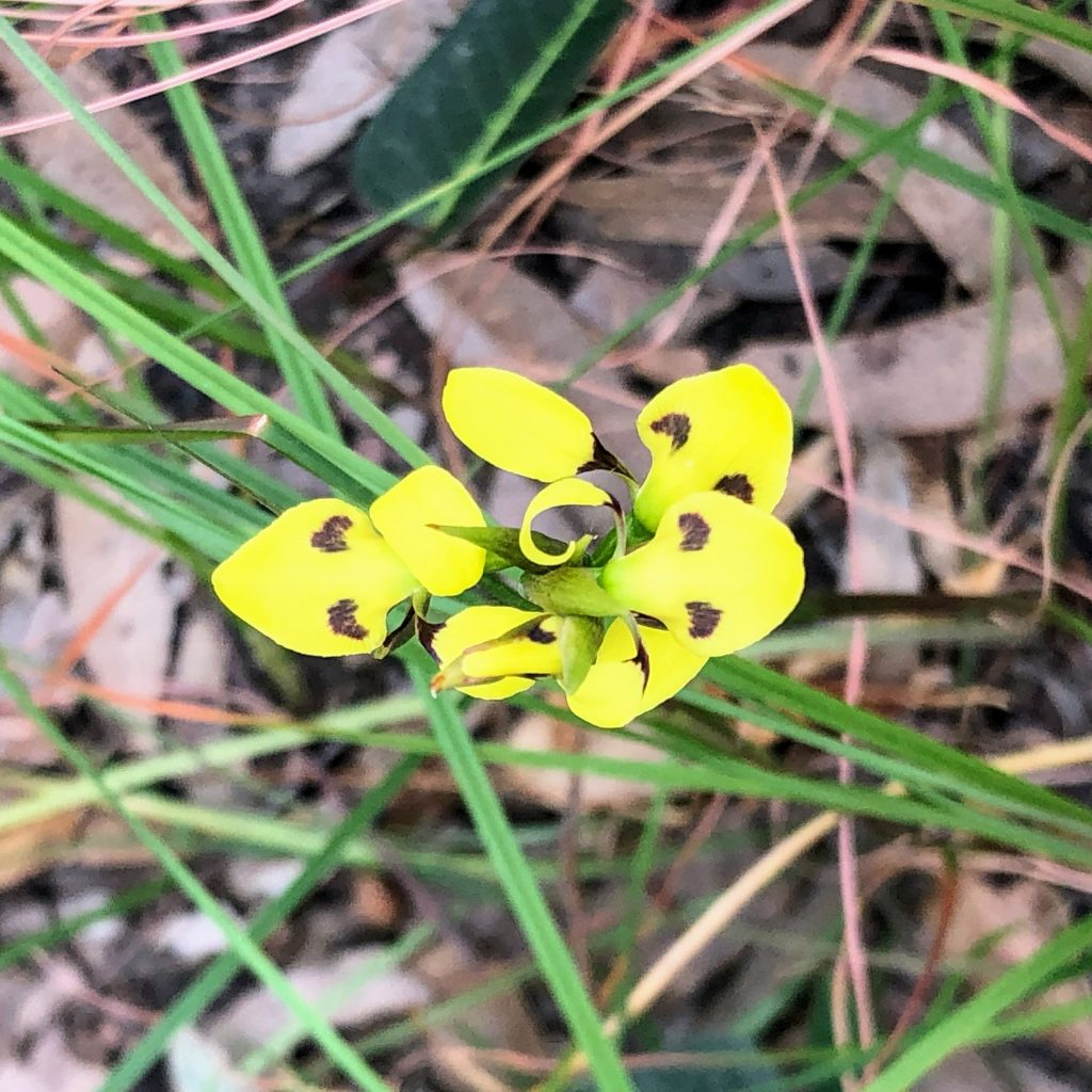 Yellow orchid in Ngambaa NR